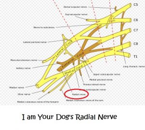 I am your dogs radial nerve daily dog discoveries dog radial nerve ccuart