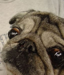 Exophthalmos in pug