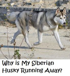 What S Up With Siberian Huskies Escaping Their Yards Daily Dog
