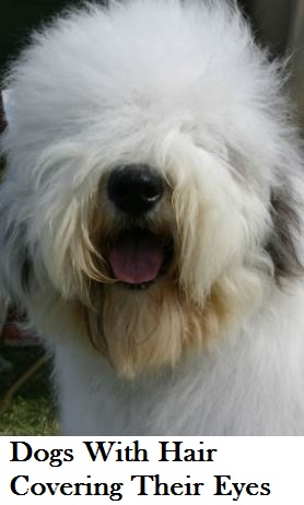 dog-breeds-with-hair-over-eyes