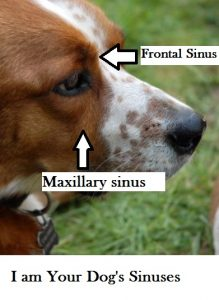 dog-sinuses