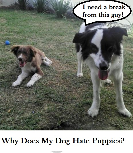 dogs-hate-puppies