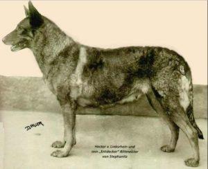 german-shepherd-old-picture