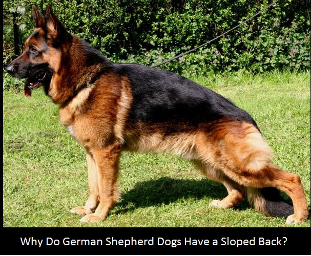 german-shepherd-sloped-back