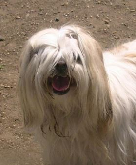 Dog With Hair Over Eyes Breed