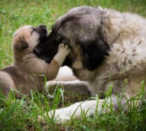 "Mother dog gently ""nibbling"" her pup."