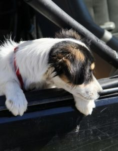 puppy-in-car