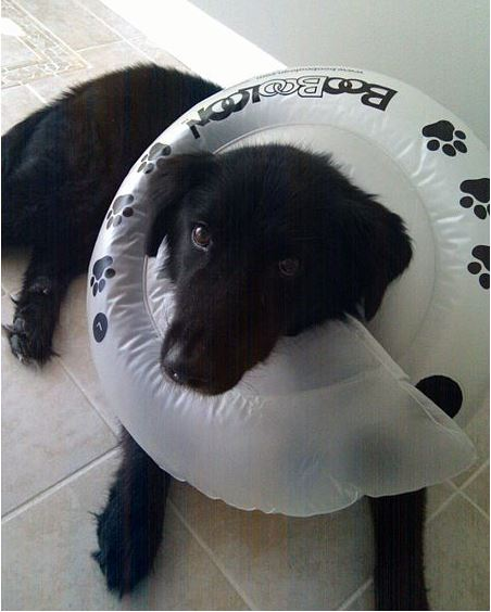 Dog Cone Alternative Homemade Daily Dog Discoveries