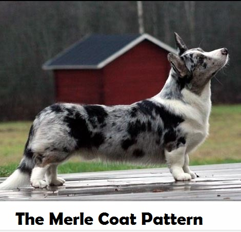 Seven Fascinating Dog Coat Color Patterns Daily Dog Discoveries Magnificent Dog Coat Pattern