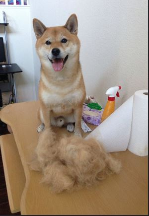 dog-shedding-year-round