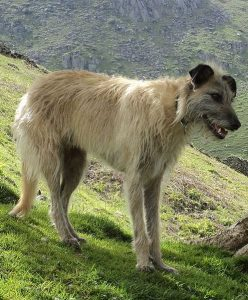 picture-of-lurcher-dog