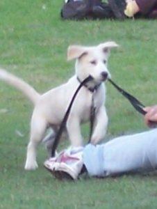 puppy-biting-leash