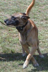 Dog wearing a shock collar