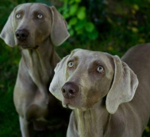 why are weimaraners called ghost dogs daily dog discoveries