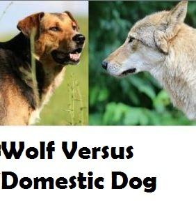 wolf-versus-dog