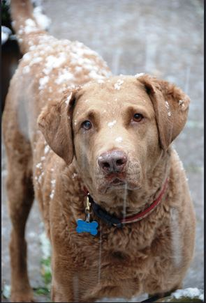 chesapeake-bay-retriever-hunting