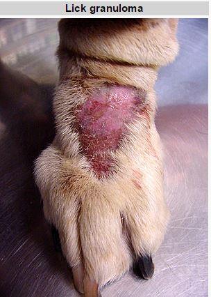 dog-acral-lick-granuloma