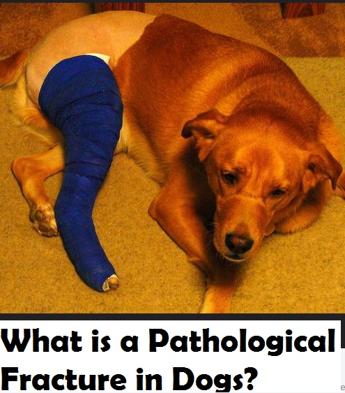 dog-pathological-fracture