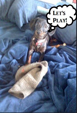 dog-stealing-sock