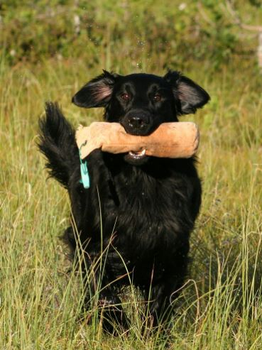 flat-coated-retriever-retrieving