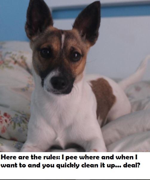parson-terrier