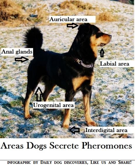 How dogs greet other dogs daily dog discoveries a look at dog pheromone glands m4hsunfo